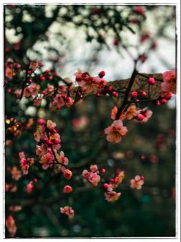 桃の花 三鷹玉川上水にて